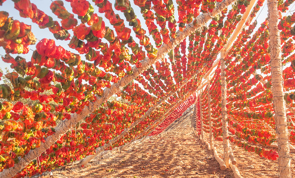 Turkish Peppers Drying in the Sun