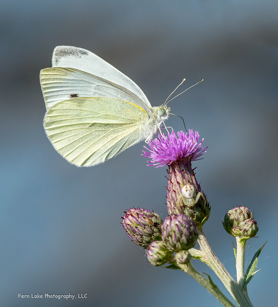 """""""Cabbage White, Hidden Spider"""" - Image #A-D0267"""