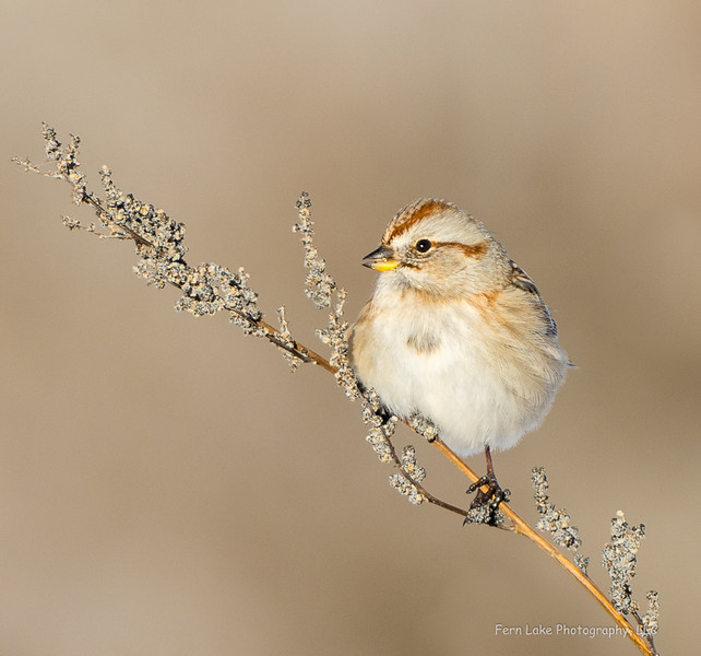 """Tree Sparrow"" - Image #B028964"