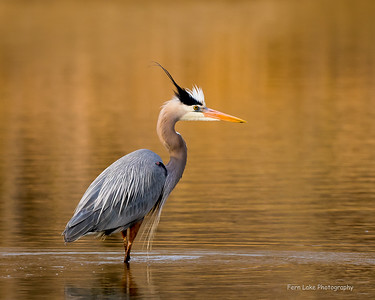 """Great Blue at Dawn"" - image D02_8849"