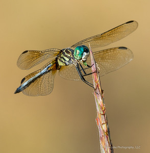 """Blue Dasher"" - Image #B025529"