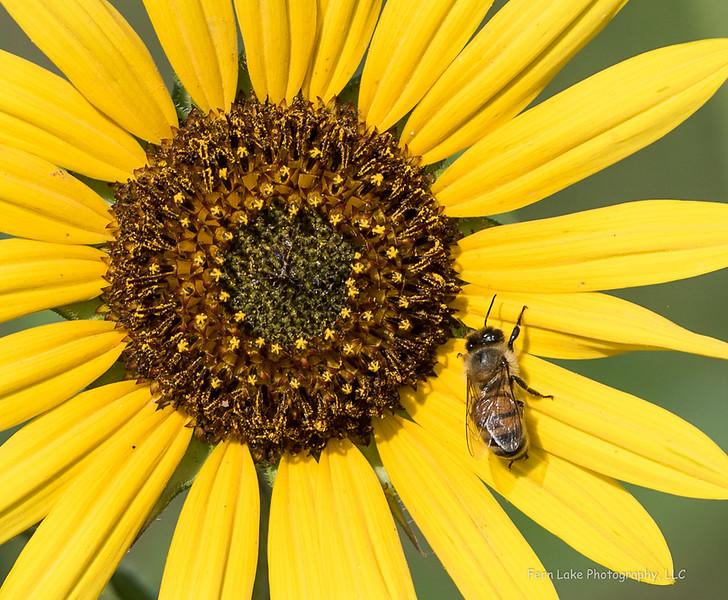 """Morning Sunflower"" - Image #C03_1401"