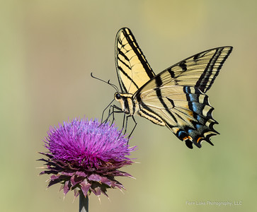 """Swallowtail"" - Image #C03_0863"