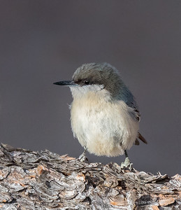 Pygmy Nuthatch, Rocky Mountain NP, CO