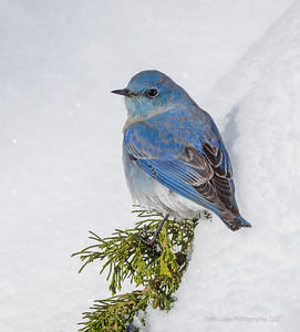 """Mountain Bluebird"" - Image #C014917"