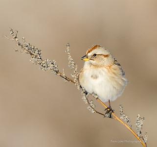 """""""Tree Sparrow"""" - Image #B028964"""