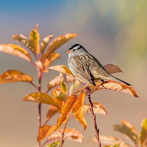 """White-crowned in Autumn"" - image #C03_8599"
