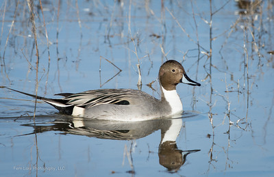 """Northern Pintail"" - Image #A-E9061"