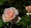 Rose in FILOLI gardens.
