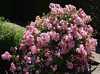Beautiful flowers at FILOLI gardens, Woodside, California