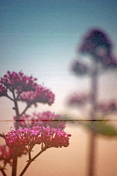 Floral Sea - Red Valerian (Centranthus ruber)