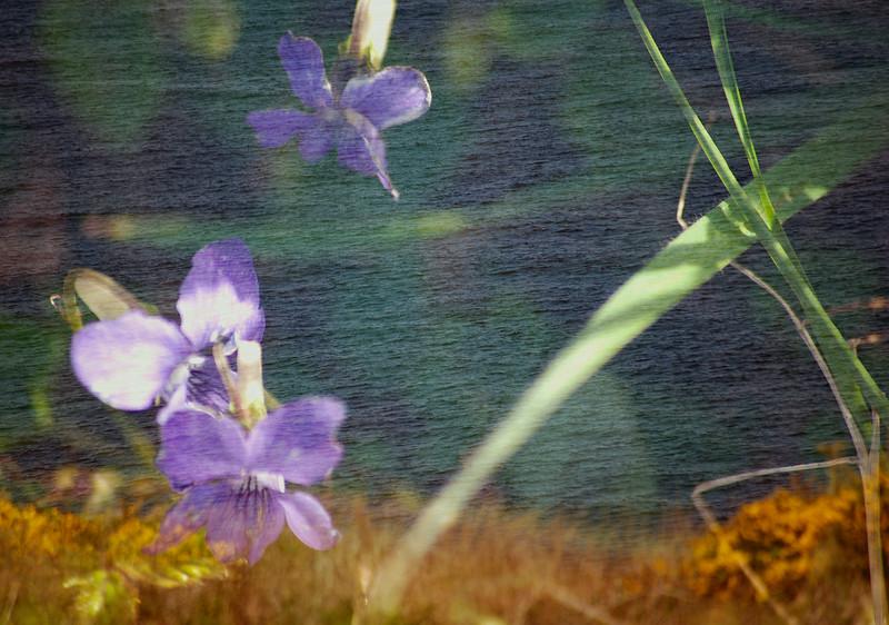 Floral Sea - Common Dog Violet (Viola riviniana)