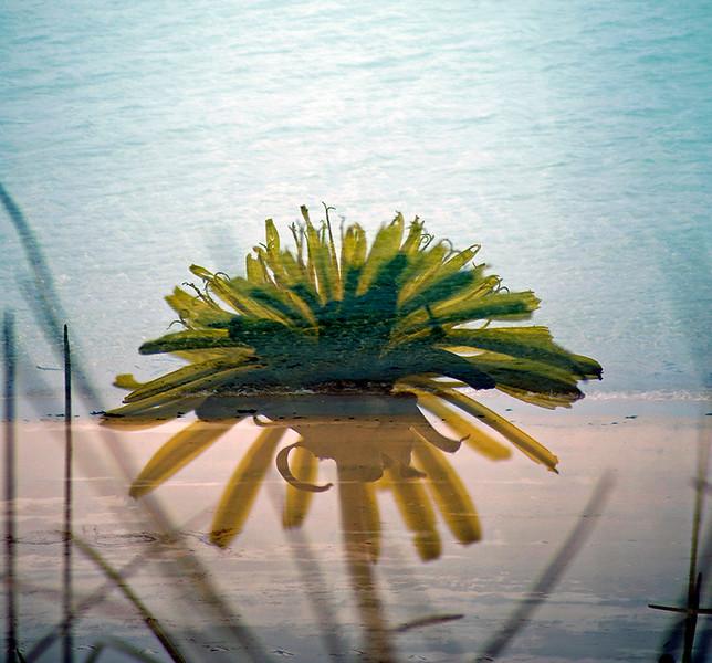 Floral Sea - Dandelion (Taraxacum officinale)