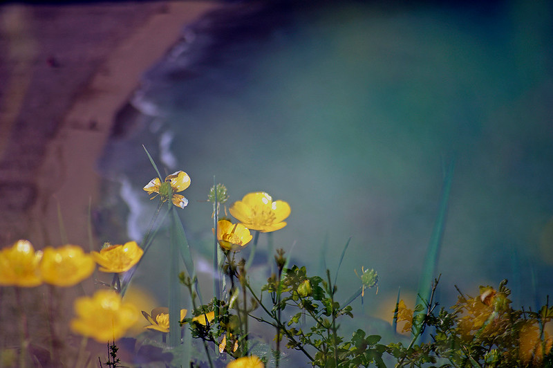 Floral Sea - Meadow Buttercup (Ranunculus acris)