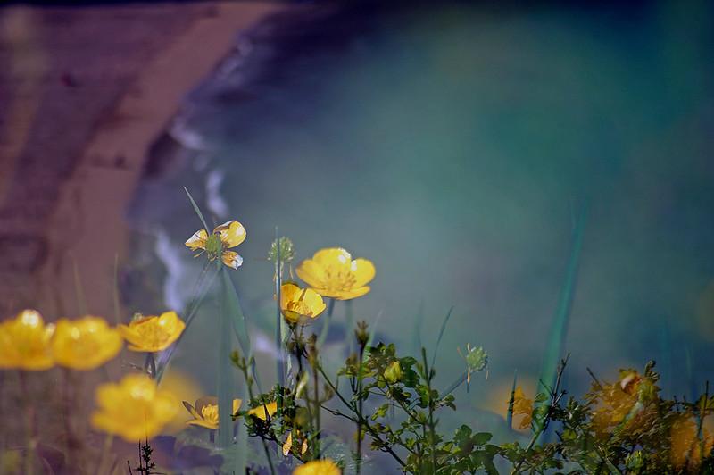 Floral Sea - Meadow Buttercup (Ranunculus acris)