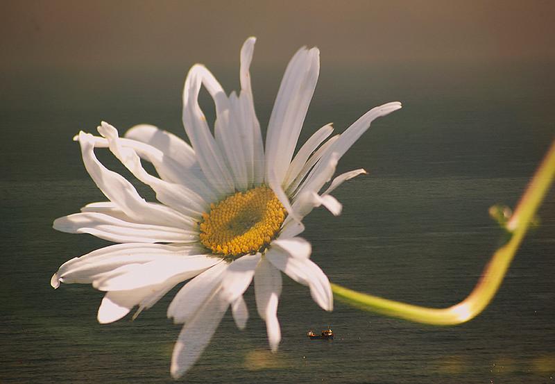 Floral Sea - Sea Mayweed (Tripleurospermum maritimum)