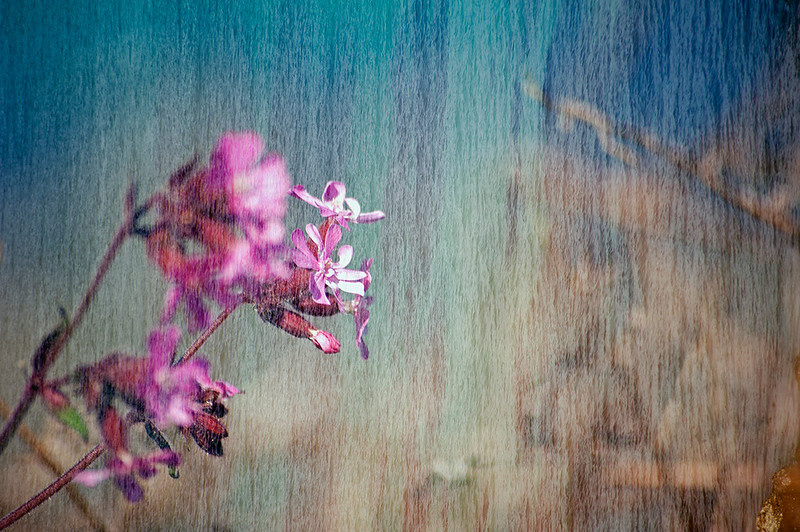 Floral Sea - Red Campion (ii) (Silene dioica)