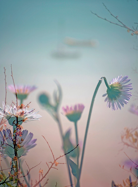 Floral Sea - Mexican Fleabane (Erigeron karvinskianus)