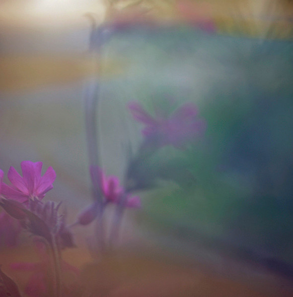 Floral Sea - Red Campion (i) (Silene Dioica)
