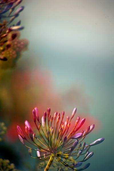 Floral Sea - Agapanthus (Agapanthus praecox)