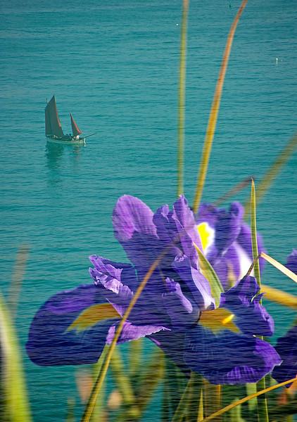 Floral Sea - Iris (Iris germanica)