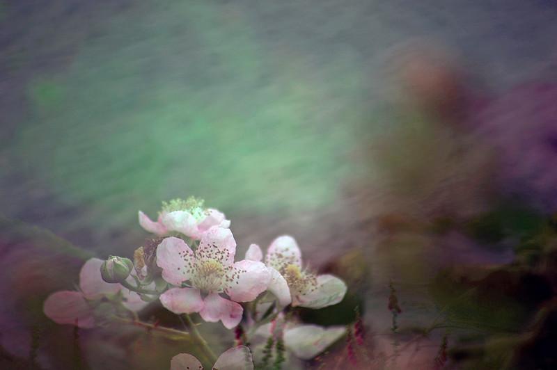 Floral Sea - Bramble (Rubus Fruticosus)