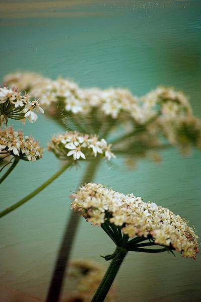 Floral Sea - Hogweed (Heracleum sphondylium)