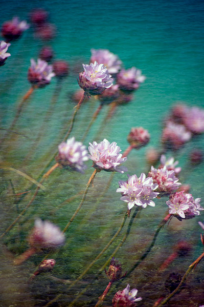 Floral Sea - Thrift (Armeria maritima)