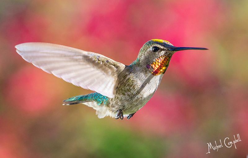 Hummingbird-0452