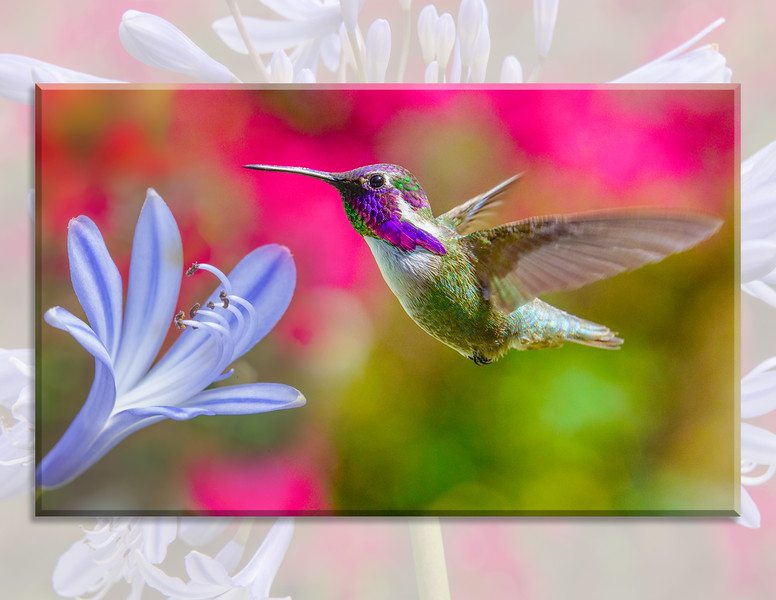 HUMMINGBIRD 08