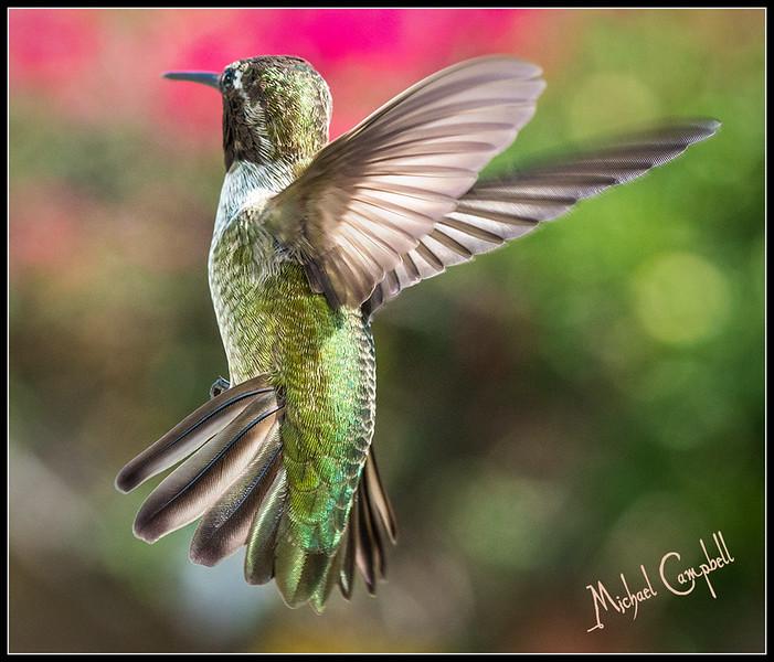 Humming-Bird-7953