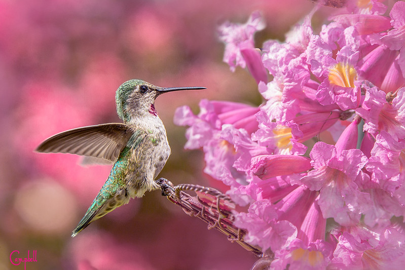 Humming-bird-pink---1-copy