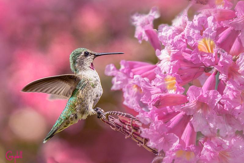 Humming-bird-pink---1-copy
