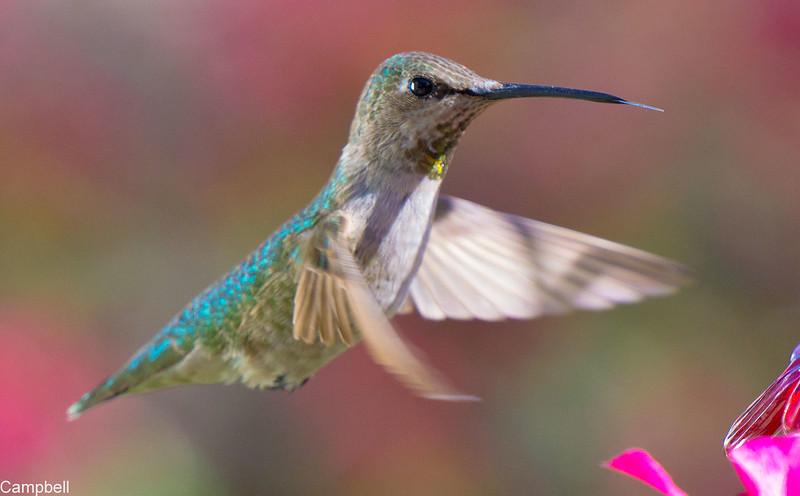 Hummingbird-9979