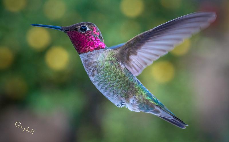 Hummingbird 0217 flat copy