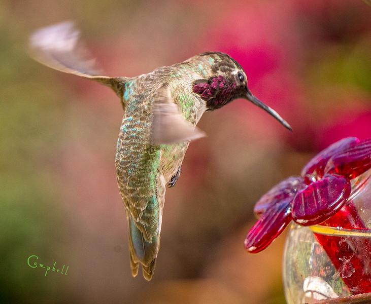 Hummingbird1099 copy