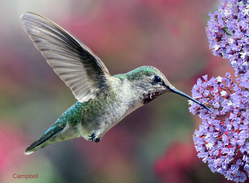 Humming-Bird-Blue-blossom-09990