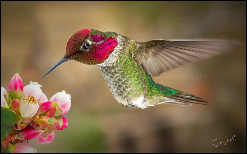 Hummingbird 16x10  copy