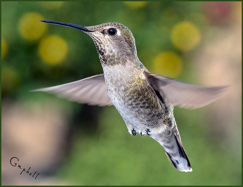 hummingbird-50410-copy