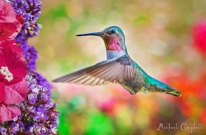 Hummingbird-#1flat--