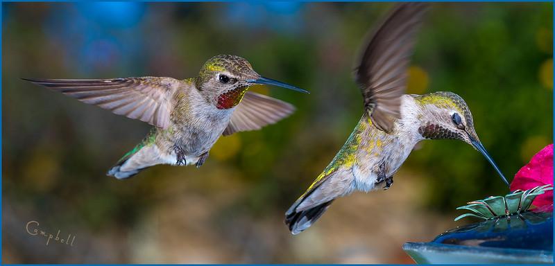 hummingbird-double-1834-copy