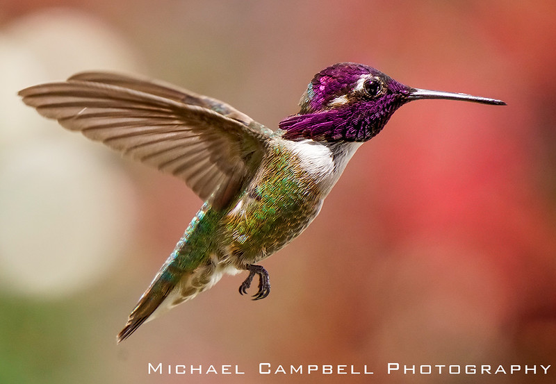 Hummingbird-Costa-1033-copy