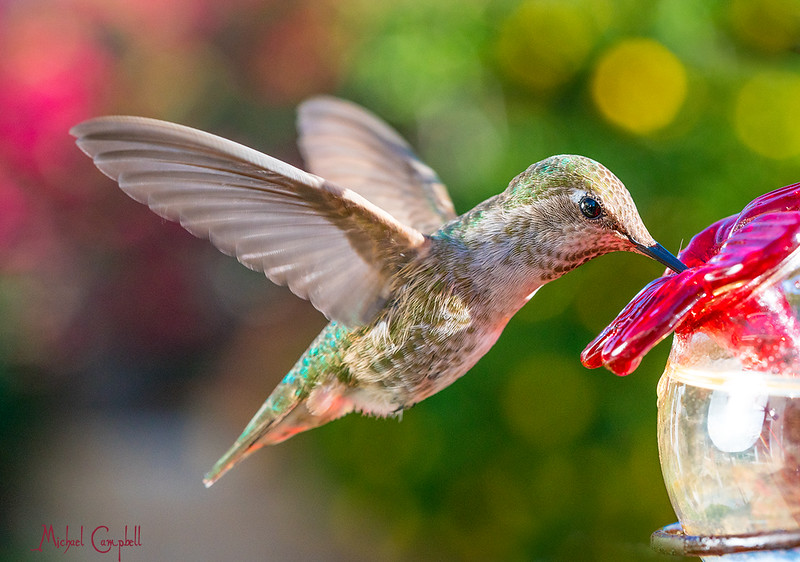 Hummingbird-drinking1579-copy
