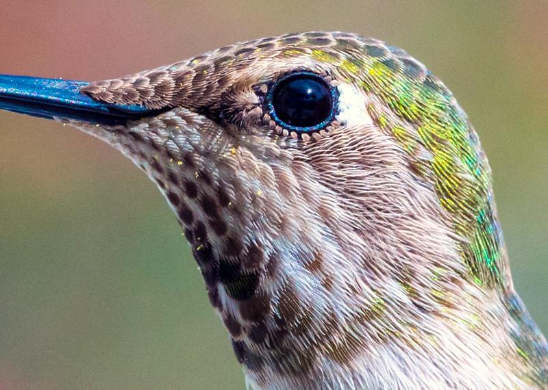 hummingbird thurs650061 detail