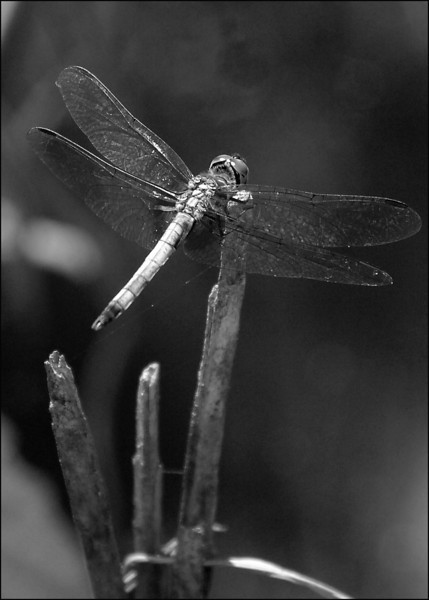 Dragon Fly on the Black River, South Carolina