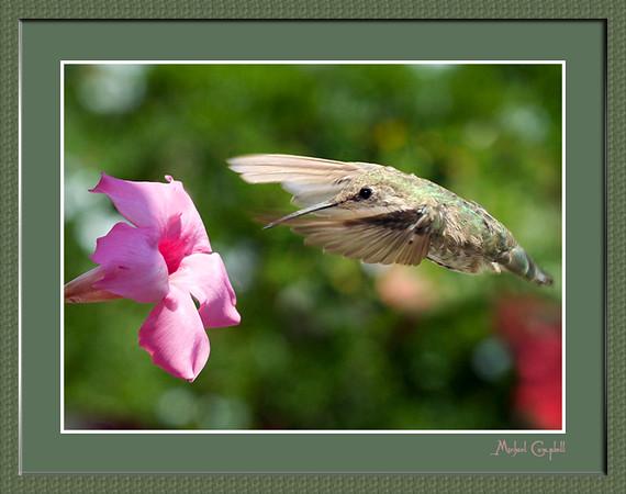 humming-birdmatte