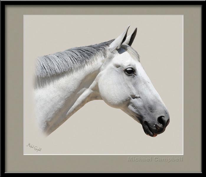 White-Horse-Head8x10