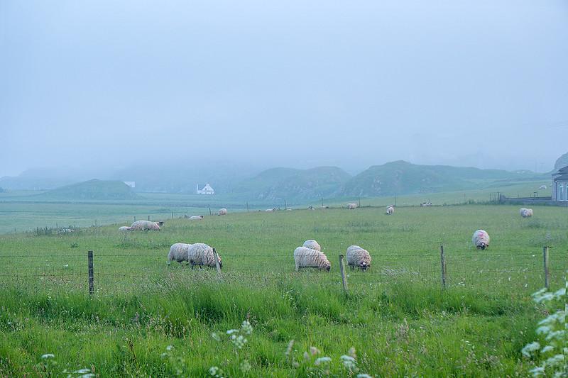 Sheep-5586