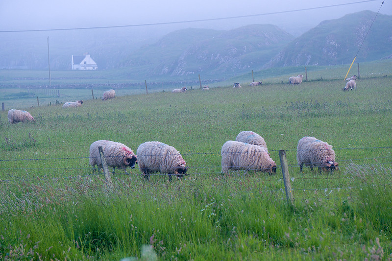 sheep-at-night5587