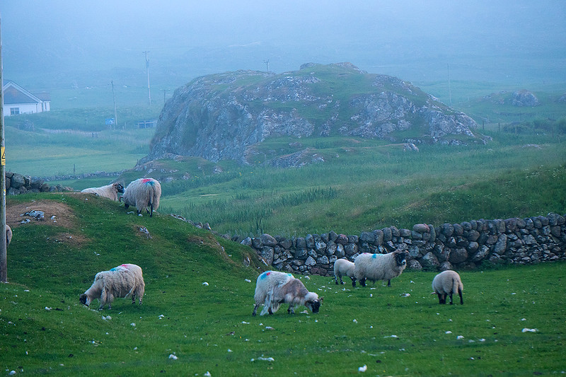 sheep-5615